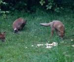 Garden Fox Watch: The gang's all here