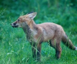 Garden Fox Watch: Profile of a fox