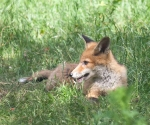 Garden Fox Watch: Warm