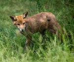Garden Fox Watch: In the long grass
