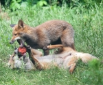 Garden Fox Watch: The tackle