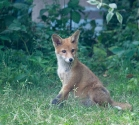 Garden Fox Watch: This is my best side, you know