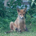 Garden Fox Watch: Not the most dignified