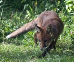 Garden Fox Watch: Stalking