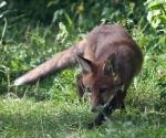 Garden Fox Watch: Stalking