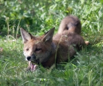 Garden Fox Watch: Flop!