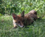 Garden Fox Watch: The Princess Diana look