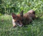 Garden Fox Watch: The Princess Diana look