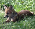 Garden Fox Watch: Sprawled