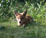 Garden Fox Watch: Huge ears