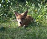 Garden Fox Watch: Huge ears