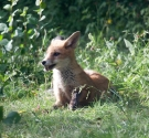 Garden Fox Watch: Panting
