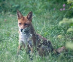 Garden Fox Watch: Vixen on watch