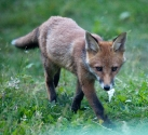 Garden Fox Watch: Tiptoe through the... er, weeds, actually