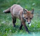 Garden Fox Watch: Tiptoe through the... er, weeds, actually
