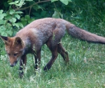 Garden Fox Watch: Searching