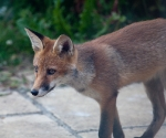 Garden Fox Watch: A closer study