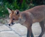 Garden Fox Watch: A closer study