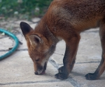 Garden Fox Watch: Mmm, tasty patio