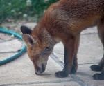 Garden Fox Watch: Scent of a stone