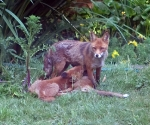 Garden Fox Watch: The Milk Bank of Mum