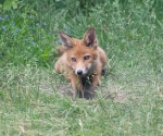 Garden Fox Watch: ... and I shall watch it