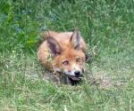 Garden Fox Watch: None shall pass!