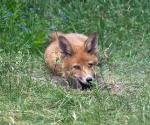 Garden Fox Watch: All I need is patience