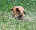 Garden Fox Watch: Getting bored now
