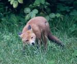 Garden Fox Watch: Fascinating grass