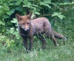 Garden Fox Watch: Cute and fluffy (I)