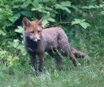 Garden Fox Watch: Cute and fluffy (II)