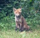 Garden Fox Watch: A quirk of an ear