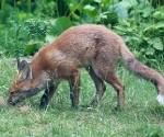 Garden Fox Watch: Investigation