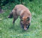 Garden Fox Watch: Was that a tasty hose?