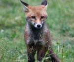 Garden Fox Watch: Ears