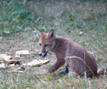 Garden Fox Watch: Jam today?