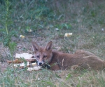 Garden Fox Watch: Bread and cheese