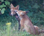 Garden Fox Watch: Am I boring you?