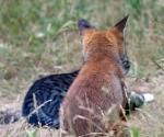 Garden Fox Watch: A strange hybrid