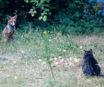 Garden Fox Watch: Stand-off across the cheese