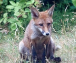 Garden Fox Watch: Contemplation