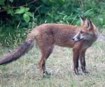 Garden Fox Watch: Adolescent