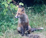 Garden Fox Watch: Guarding the hole