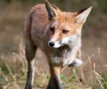 Garden Fox Watch: The foxtrot