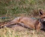 Garden Fox Watch: Taking the sun