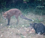 Garden Fox Watch: Can't we dine in peace?