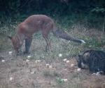 Garden Fox Watch: Tucking in