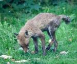 Garden Fox Watch: Scruffy fox is scruffy