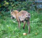 Garden Fox Watch: Tail fail